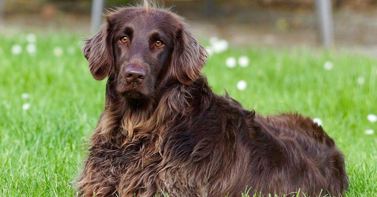 cane marrone a pelo lungo