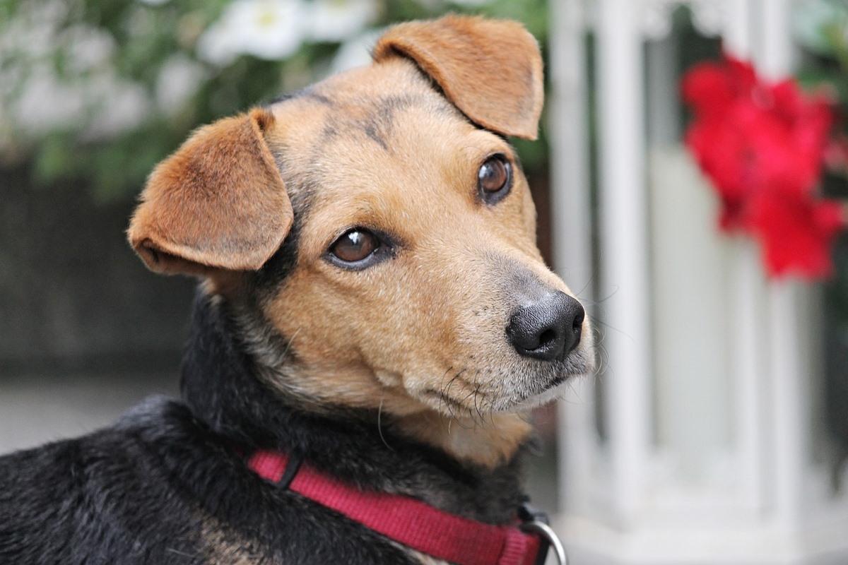 cane con il collare rosso