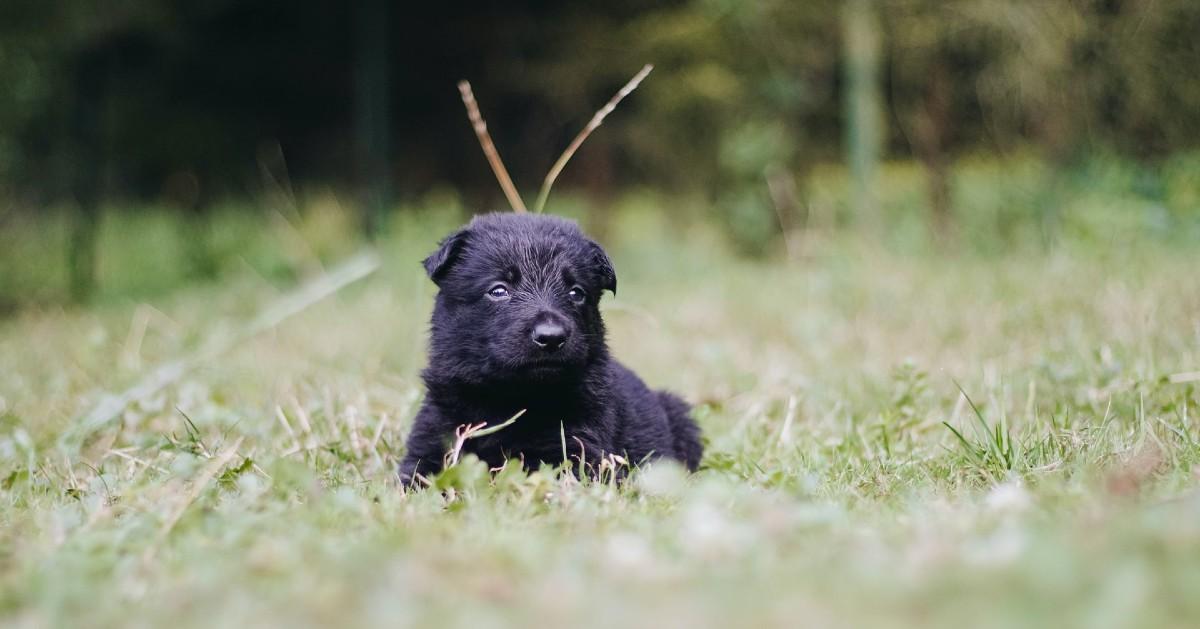 come capire se il cucciolo di cane ha i vermi