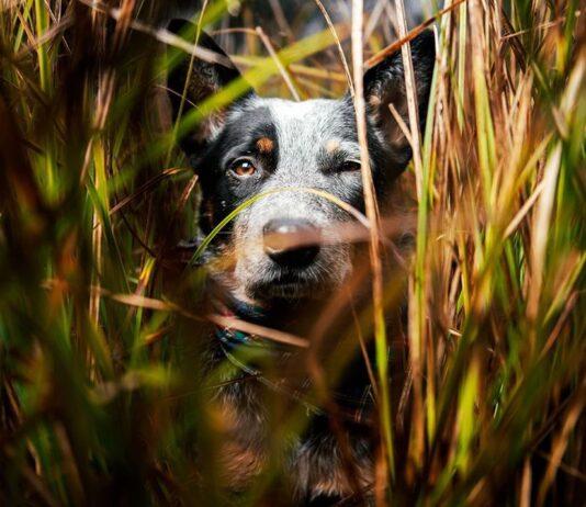 australian cattle dog concentrato