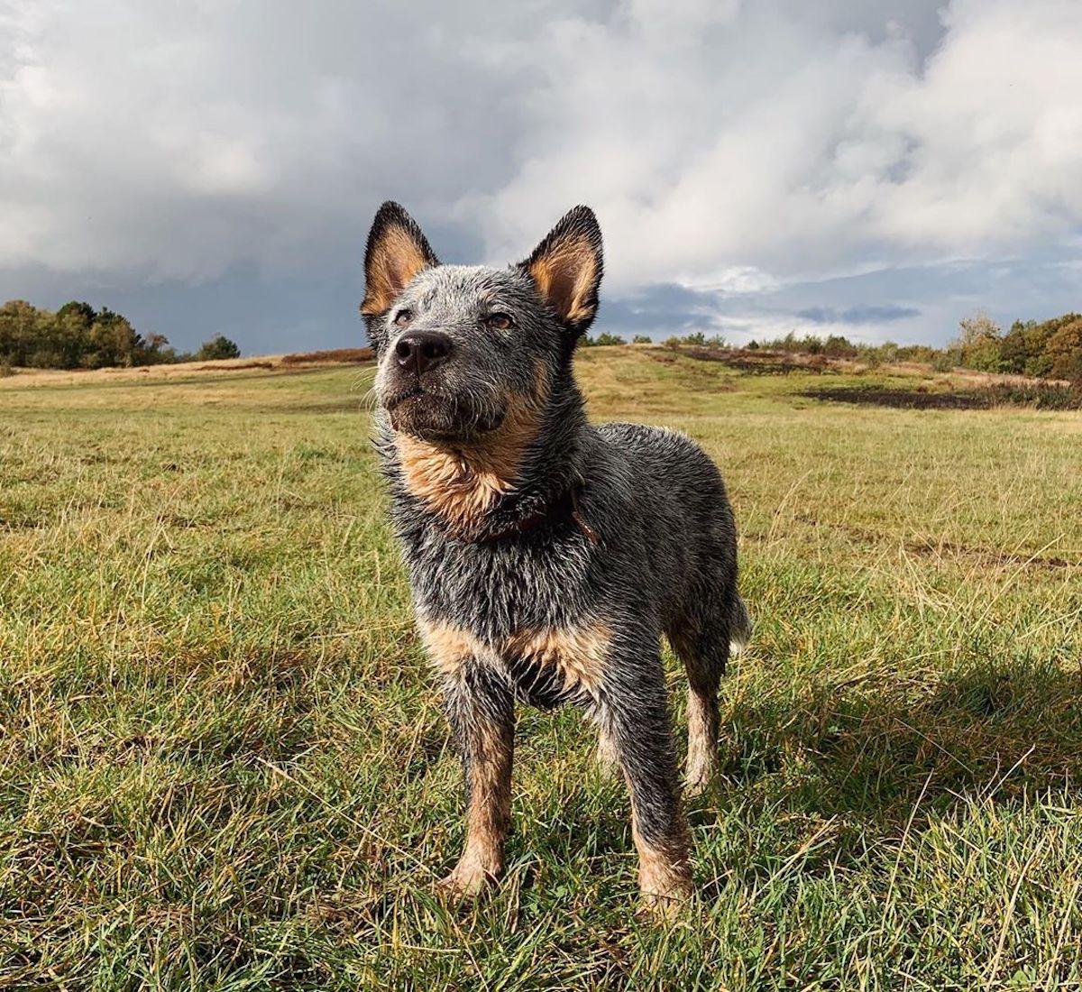 Australian Cattle Dog, curiosità e su questo cane: aneddoti e cose da sapere