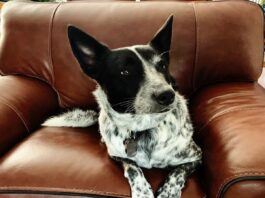 australian cattle dog si riposa