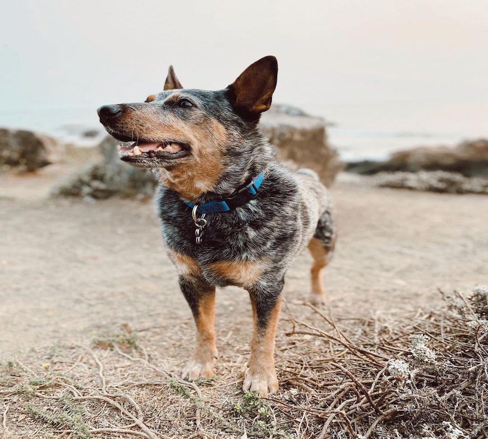 Australian Cattle Dog, salute e benessere: tutte le cure da dargli