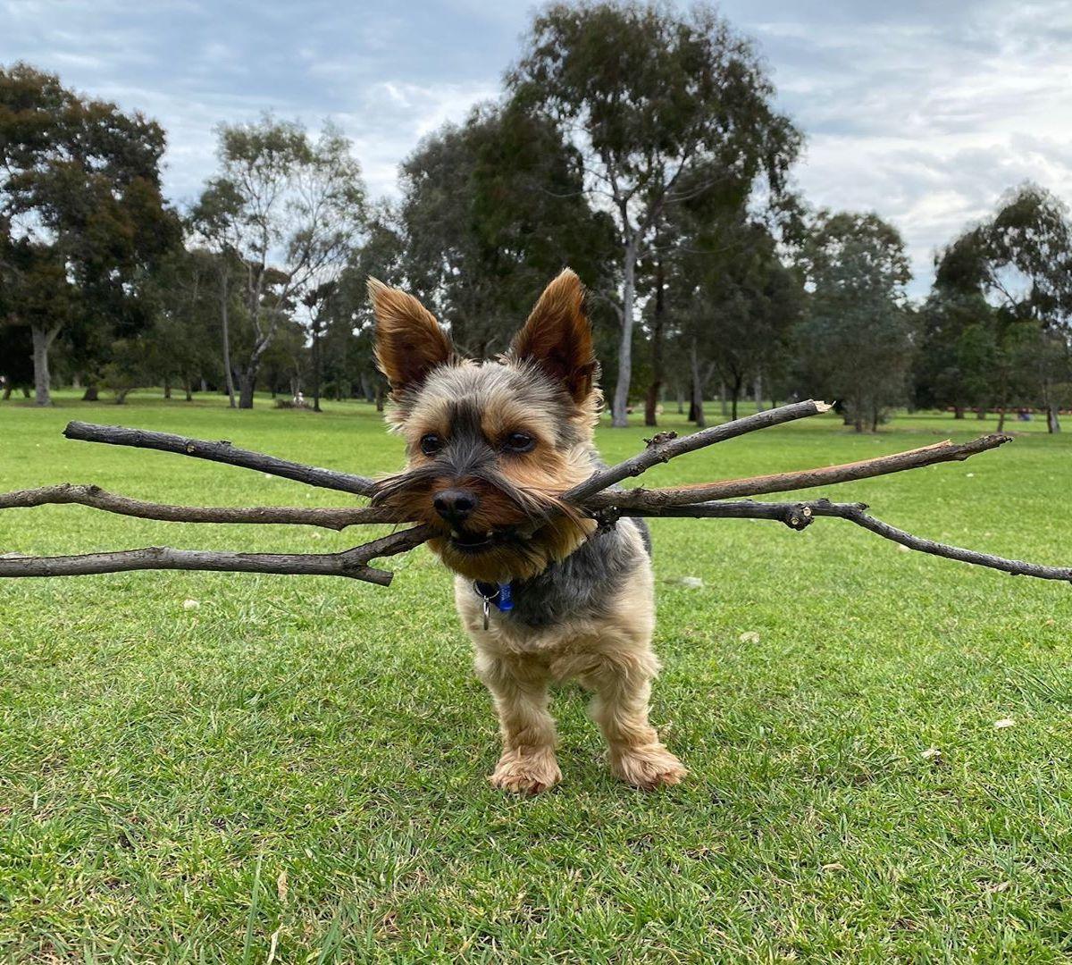 australian silky terrier bastoni in bocca