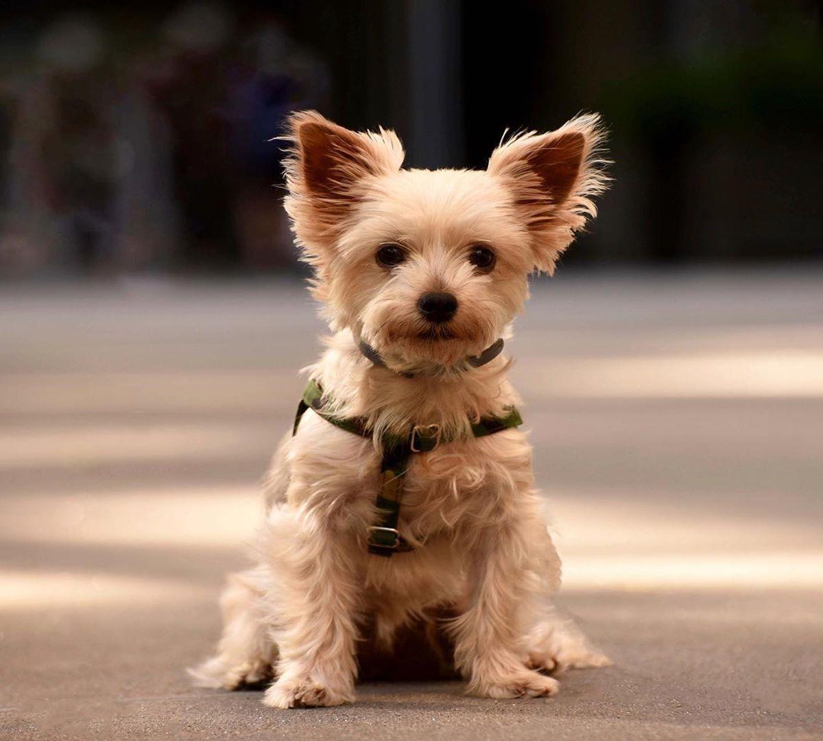 Australian Silky Terrier, salute: aspettative di vita e come prendersene cura