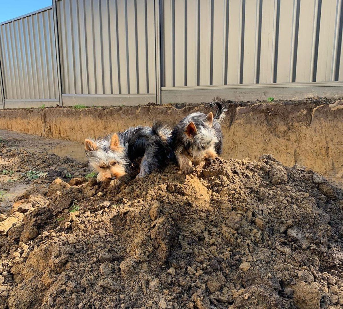 australian silky terrier in compagnia