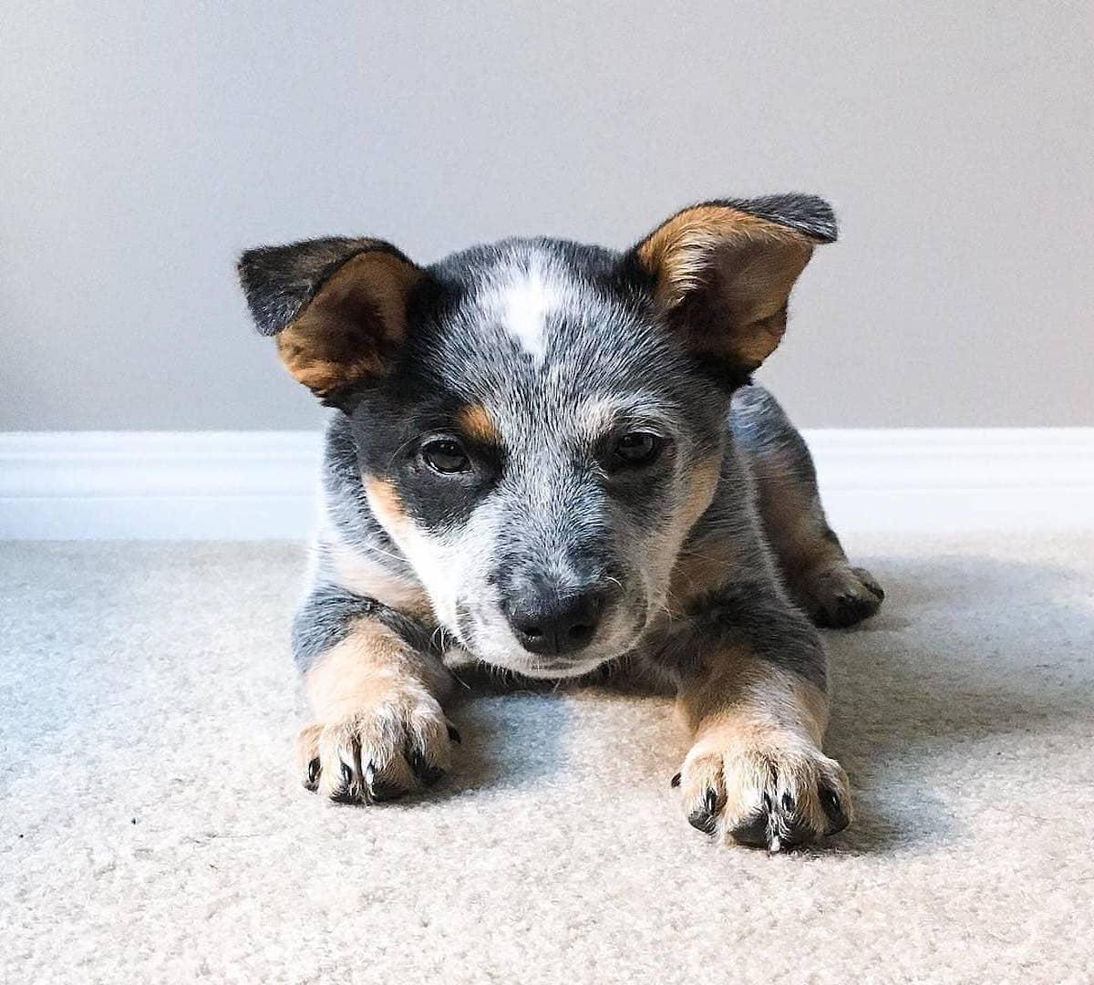 cucciolo di cane rilassato