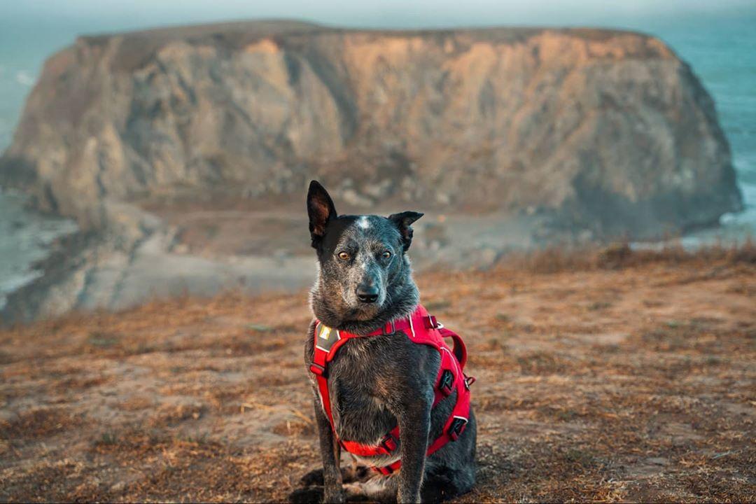 australian stumpy tail cattle dog con occhi perplessi
