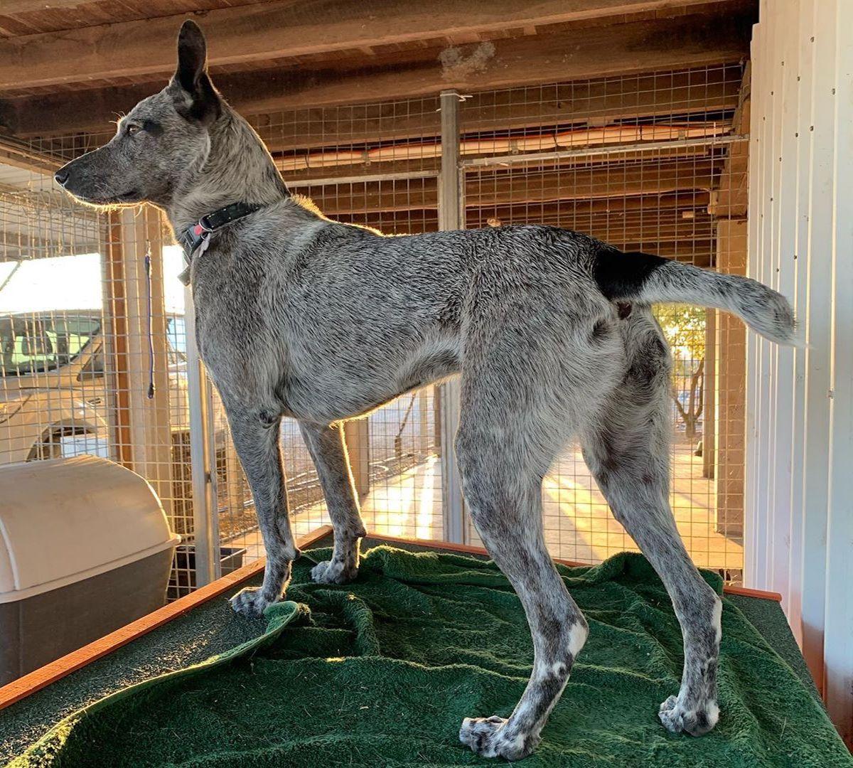 cane australiano in piedi