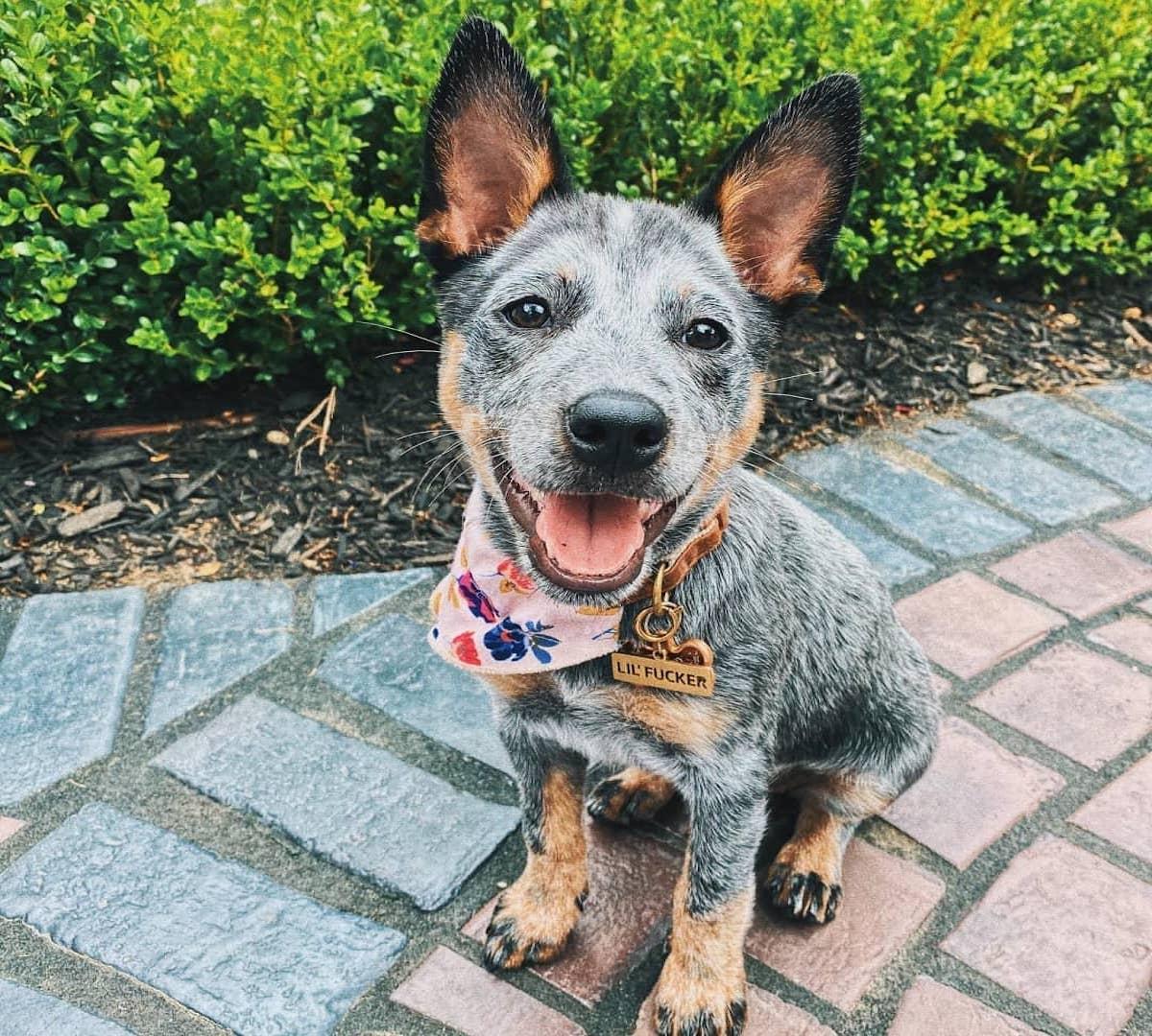 cagnolino muso felice