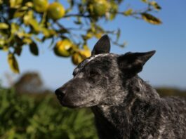 australian stumpy tail cattle dog con sguardo fiero