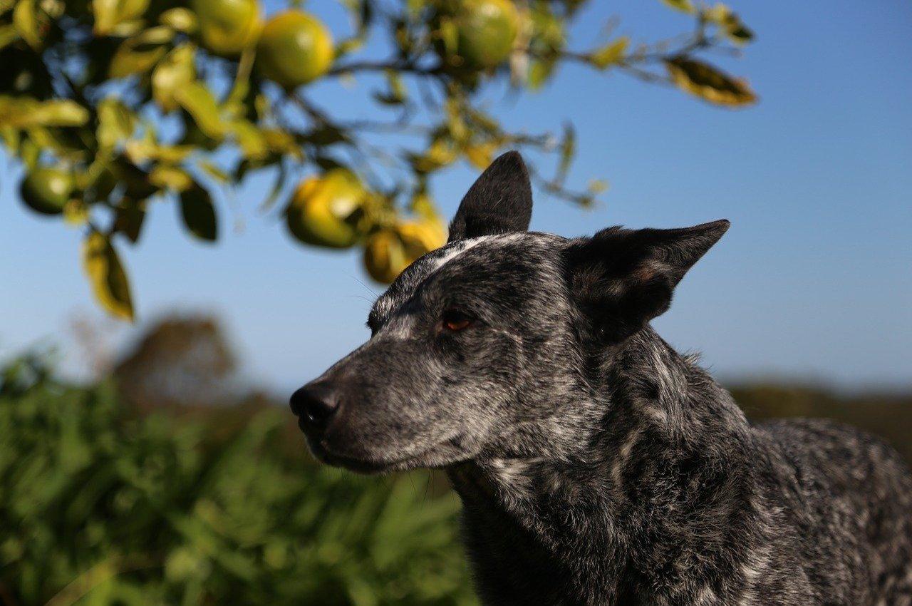 australian stumpy tail cattle dog con sguardo fiero
