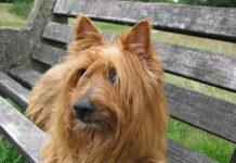 australian terrier peli sugli occhi