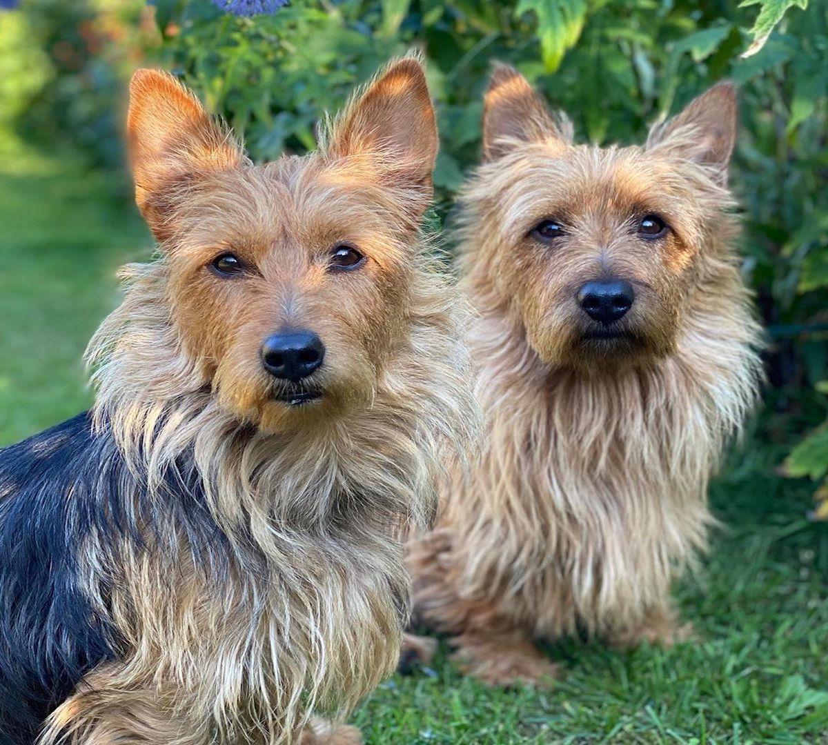 Australian Terrier, carattere: tutto sul temperamento e sull'indole di questo cane
