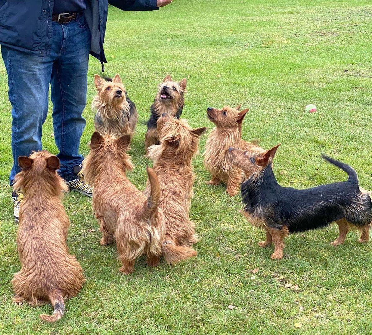 gruppo australian terrier