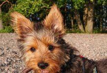 asutralian terrier dagli occhi dolci