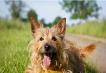 australian terrier divertito