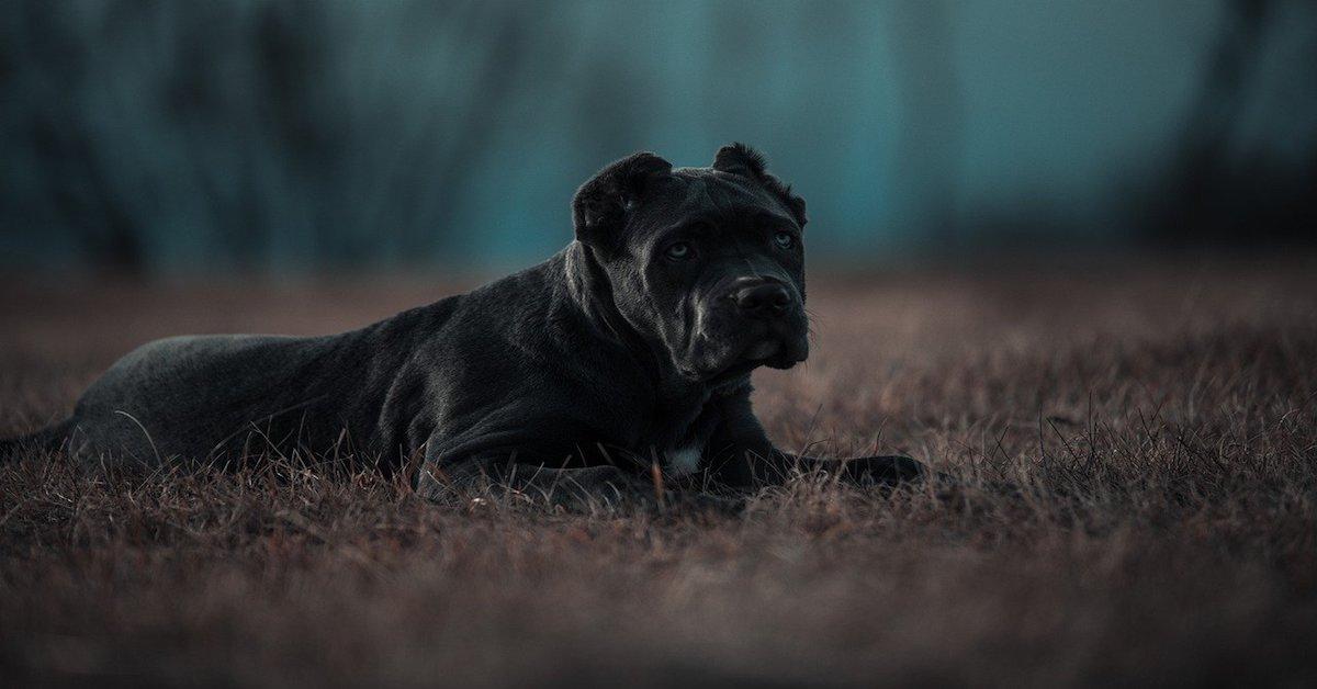 cane razza bandog si riposa