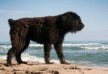 barbet si diverte in spiaggia
