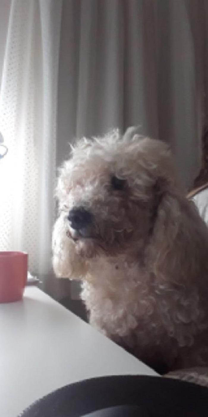 Bonzo, il cagnolino che non ha dormito per stare col suo proprietario (FOTO)