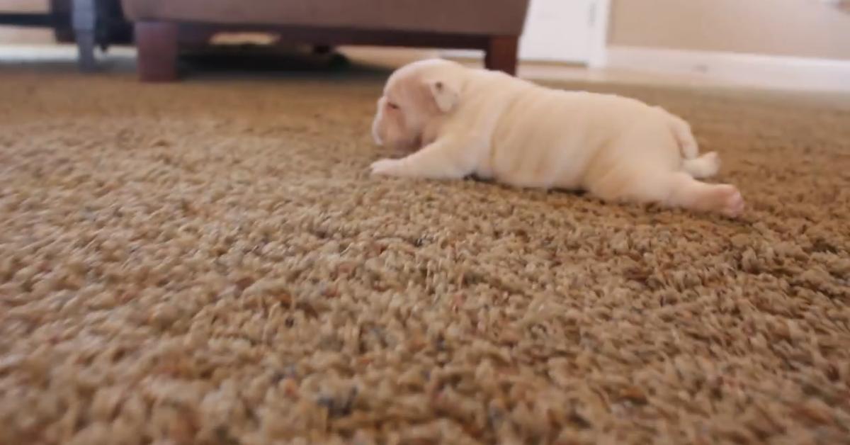 Splendidi cuccioli di bulldog imparano a camminare (VIDEO)