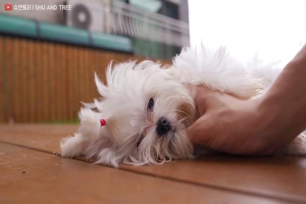 Un dolcissimo cagnolino si fa lavare dal padrone (VIDEO)
