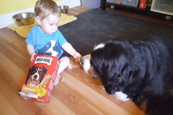 Questo cane Bernese mangia dalla mano del fratellino umano (VIDEO)