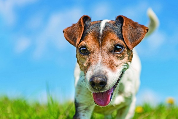 Cane abbassa le orecchie quando lo accarezzi: i motivi di questo gesto
