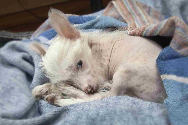 cane fra le coperte