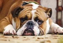cane bulldog che sta male