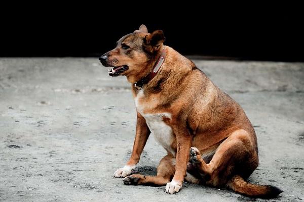 cane grasso