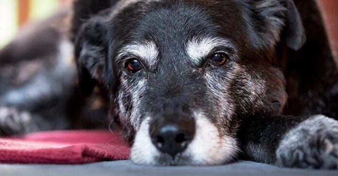 cane senza forze