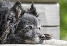 cane pensieroso