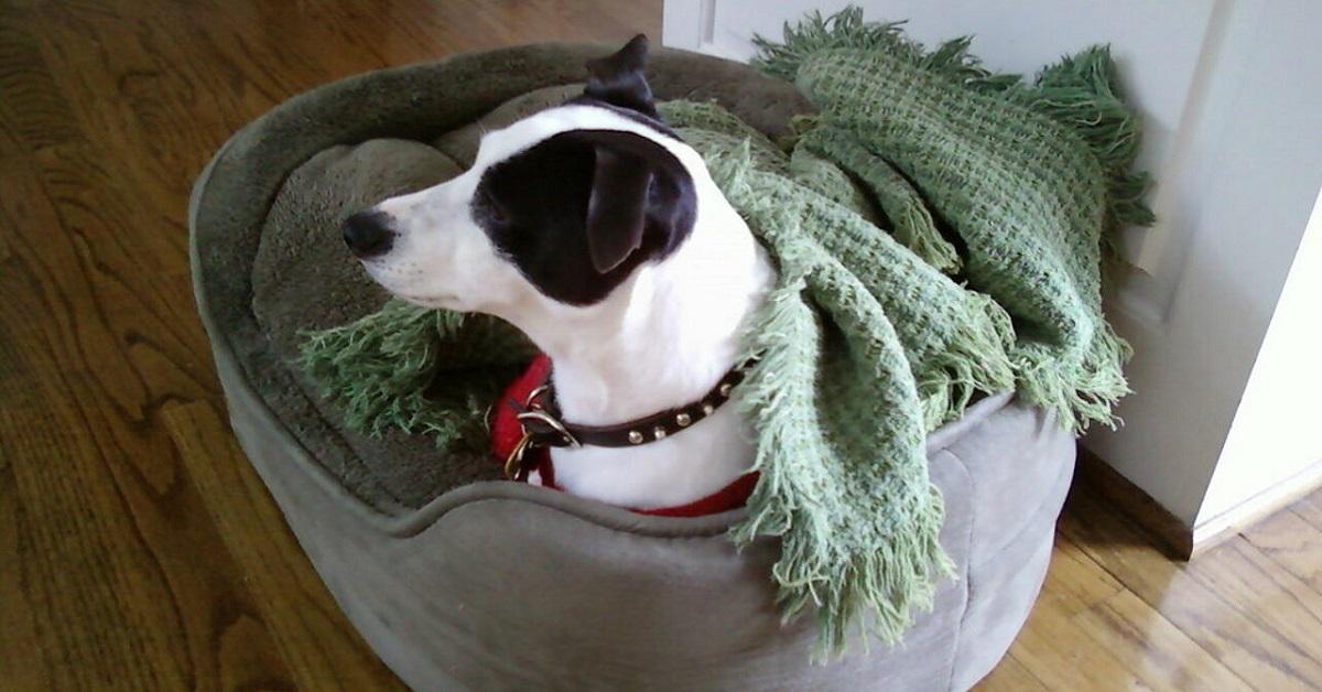 cane con la coperta