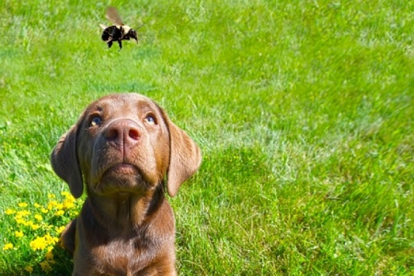 cane attirato da ape