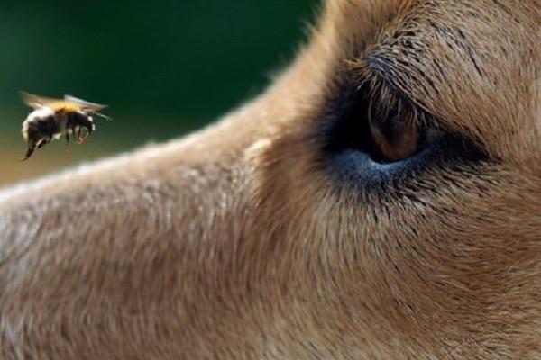 ape vola su muso di cane