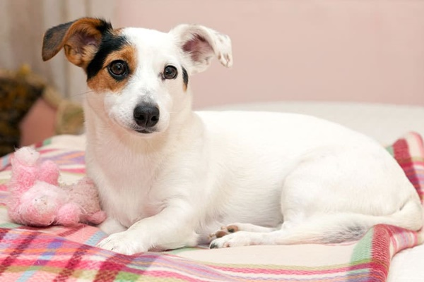 cane piccolo bianco marrone e nero