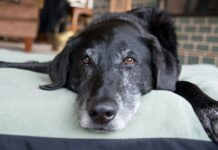 cane con il muso grigio