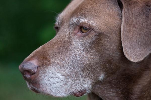 Cane diventa bianco prima del tempo: come mai e che cosa bisogna fare?
