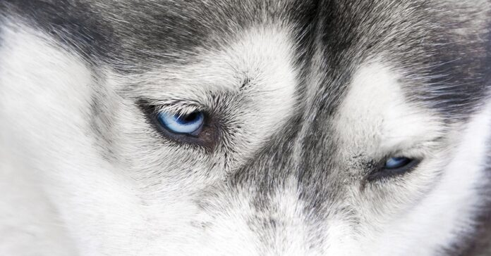 cane husky triste