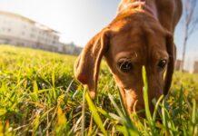 cane annusa l'erba