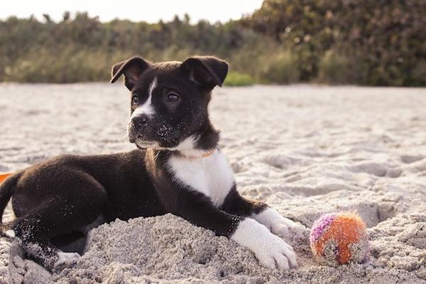 cucciolo di cane in spiaggia per giocare