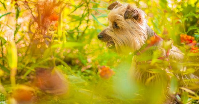 cane in campagna