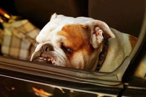 cane triste nel portabagagli