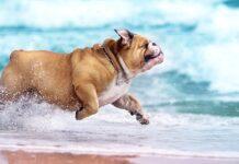 bulldog che corre in spiaggia