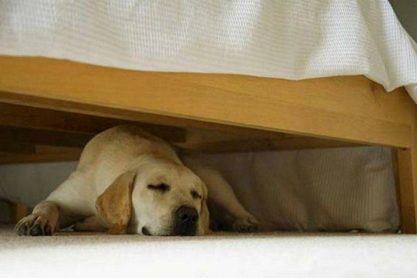 cane sotto il letto