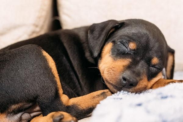 cucciolo di cane dorme sul divano