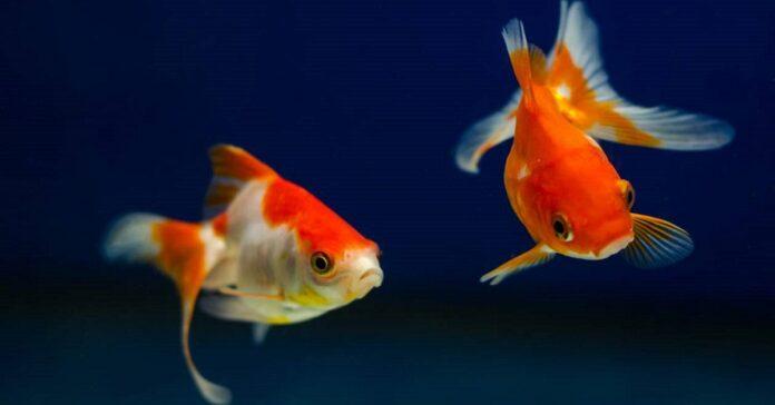 pesci rossi e cane