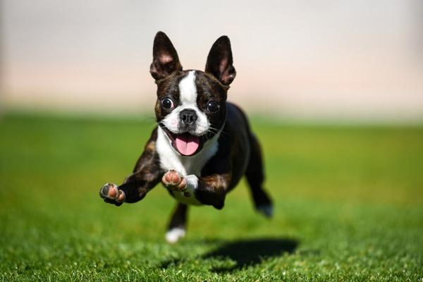 boston terrier che gioca al parco