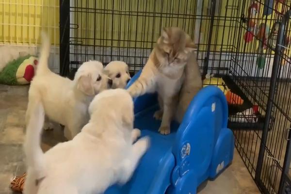 Cani e gatto lottano per la conquista dello scivolo (VIDEO)
